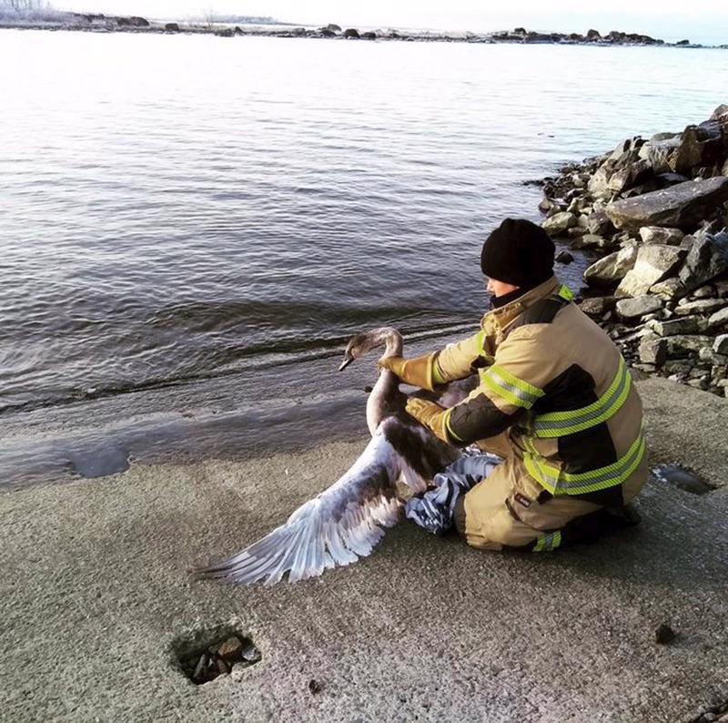 Keski-Pohjanmaan ja Pietarsaaren pelastuslaitos pelasti Kokkolassa joutsenen jäistä torstaina.