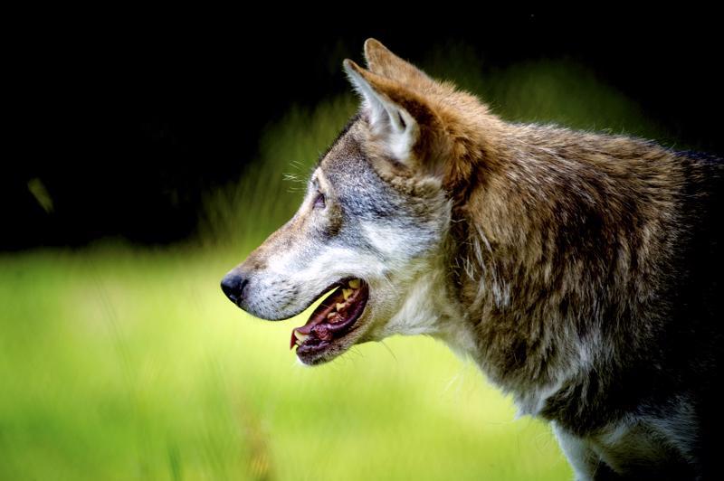 Yksi susi on lähestynyt kylällä koiraa ulkoiluttanutta henkilöä. Kuvan susi on Ähtärin eläinpuistosta.
