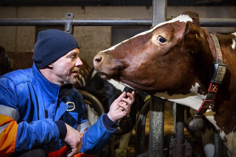 Jukka Rahjan navetassa eläimet voivat hyvin.