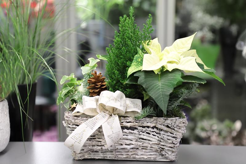 Joulutähti ja havut ovat hyvä yhdistelmä jouluisessa asetelmassa.