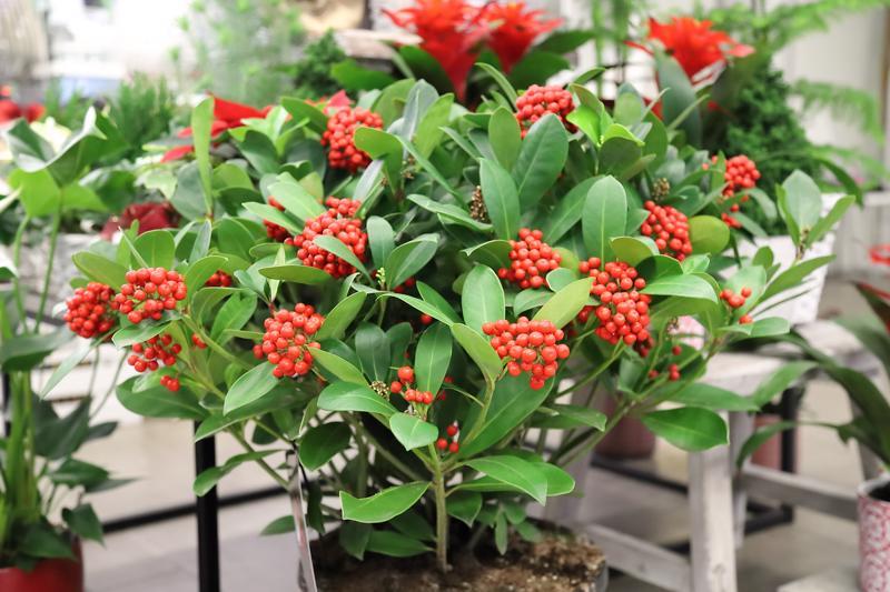 Skimmia on näyttävä kukka, jonka eri lajikkeet sopivat hyvin myös jouluasetelmiin ja kimppuihin.