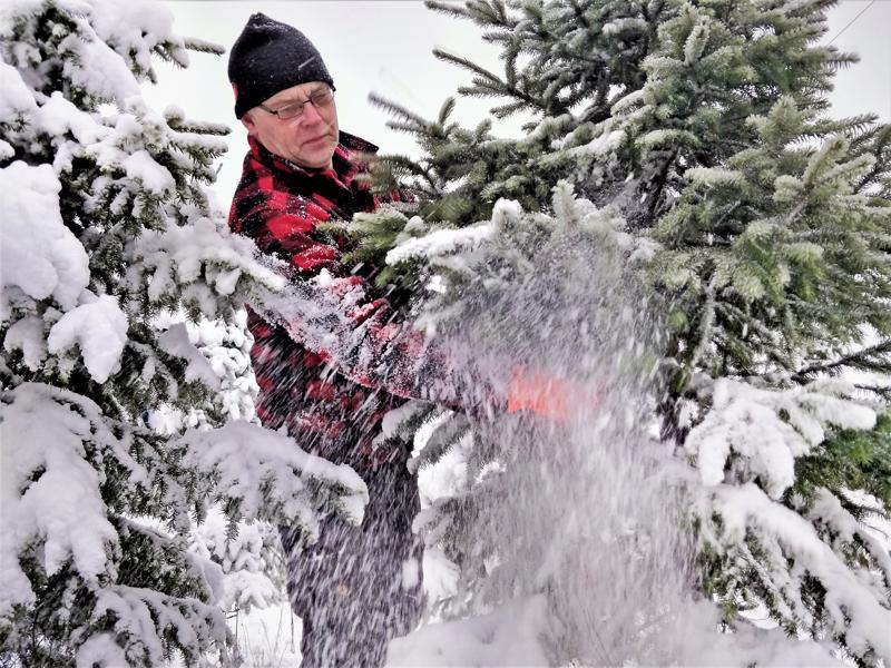 Anders Sulkakosi kasvattaa siperiankuusia joulupuuksi.