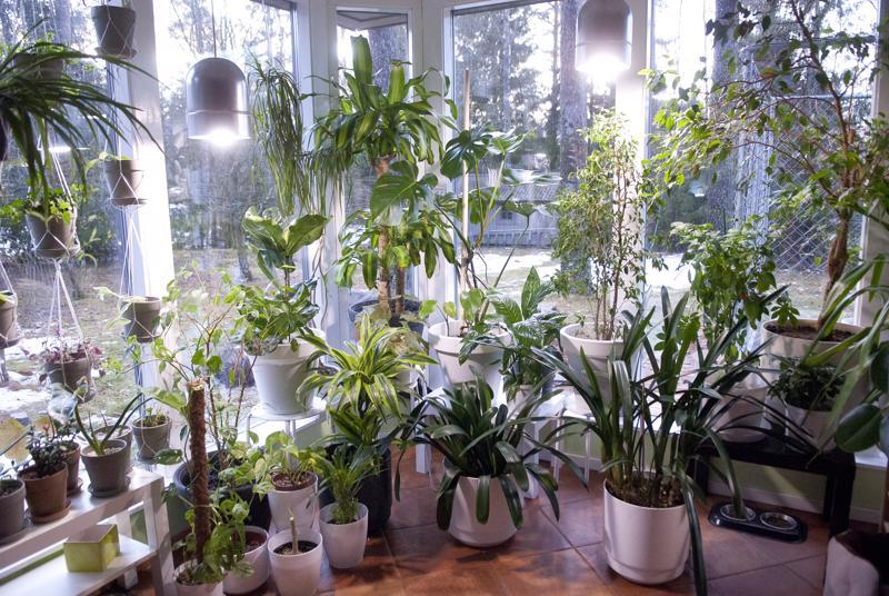 Mansikka-aho sanoo, että talvella viherkasvit vaativat vähän hoitoa. –Parempi antaa vain niiden olla. Kastelua ne tarvitsevat ehkä kerran kuukaudessa.