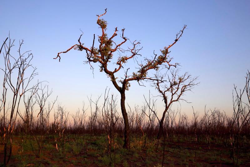 Luonto on monilta osin muovautunut niin, että se elpyy toistuvien palojen jälkeen. Tällä kertaa kuitenkin maastopalojen tuhot ovat toista luokkaa. Osalle kasvi- ja eläinkunnasta tilanne on kriittinen.
