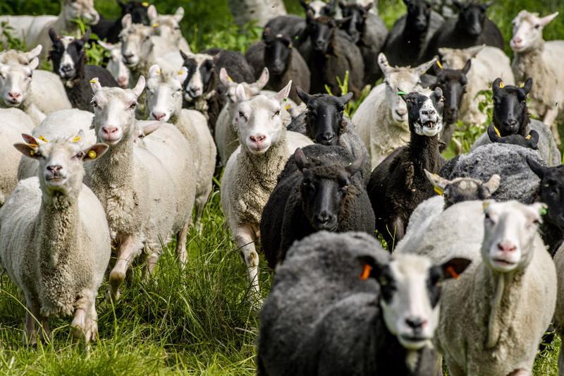 Lampaat on hyvä myös laskea päivittäin, jotta mahdolliset karkulaiset saadaan kiinni.