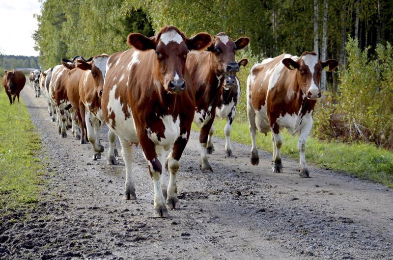 Kirjoittaja muistelee lapsuuden paimenaikoja, jolloin lehmiä piti siirtää pitkiäkin matkoja.