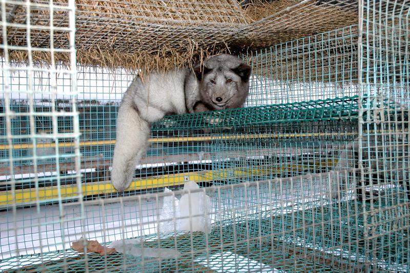 MTK Keski-Pohjanmaa tuomitsee siitoskettujen kuljetukset ulkomaisilla eläinkuljetusautoilla Suomen maaperällä tautiriskin vuoksi.