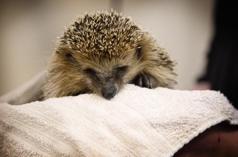 Korkeasaaren villieläinsairaalassa siilihoidokkeja on nyt parisen kymmentä. Märkä talvi on pääkaupunkiseudulla jo tavallinen tuttavuus, joten määrä ei toistaiseksi ole kovin poikkeuksellinen.