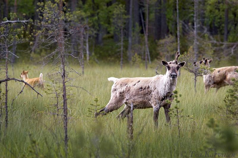 Tea Karvinen on kuvannut Salamajärven kansallispuistossa  metsäpeuroja. Hän kertoo muun muassa niistä maanantaina Pietarsaaren kirjastossa.