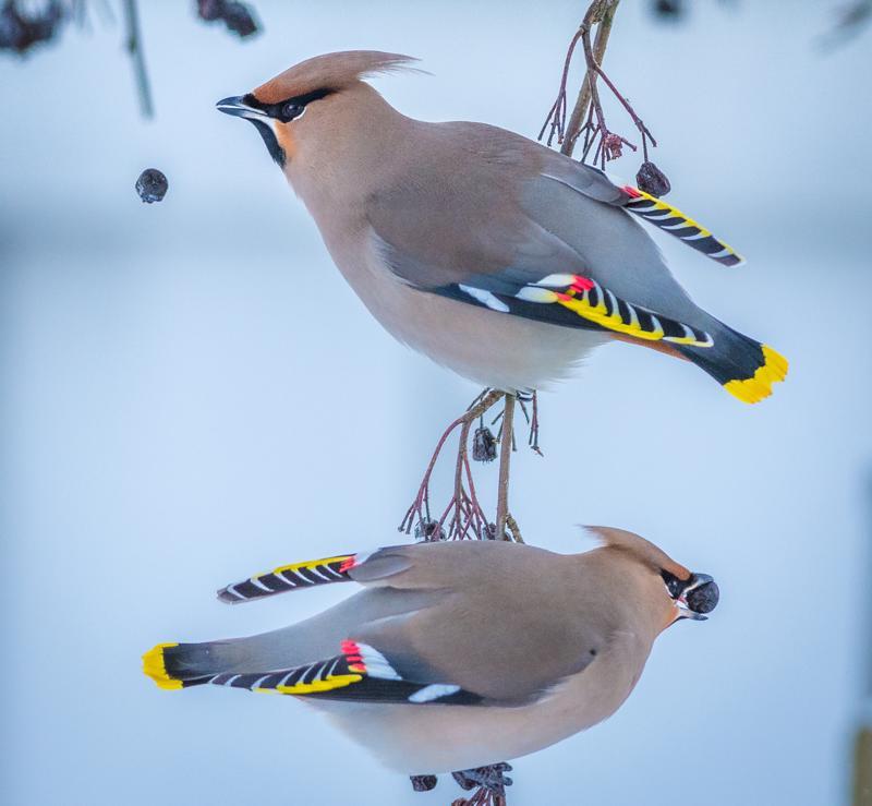 Lintujen kevätmuutto ei ole vielä alkanut, mutta monet lajit ovat jääneet talvehtimaan Suomeen.