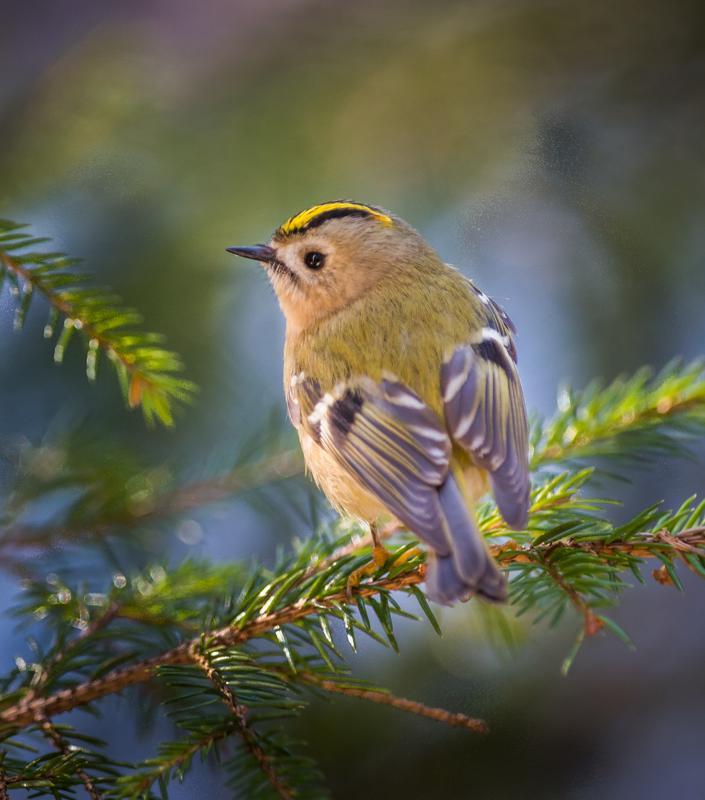 Hyönteisiä syövät linnut hyötyvät leudoista talvista. Hippiäinen syö pieniä ötököitä havupuiden oksilta.