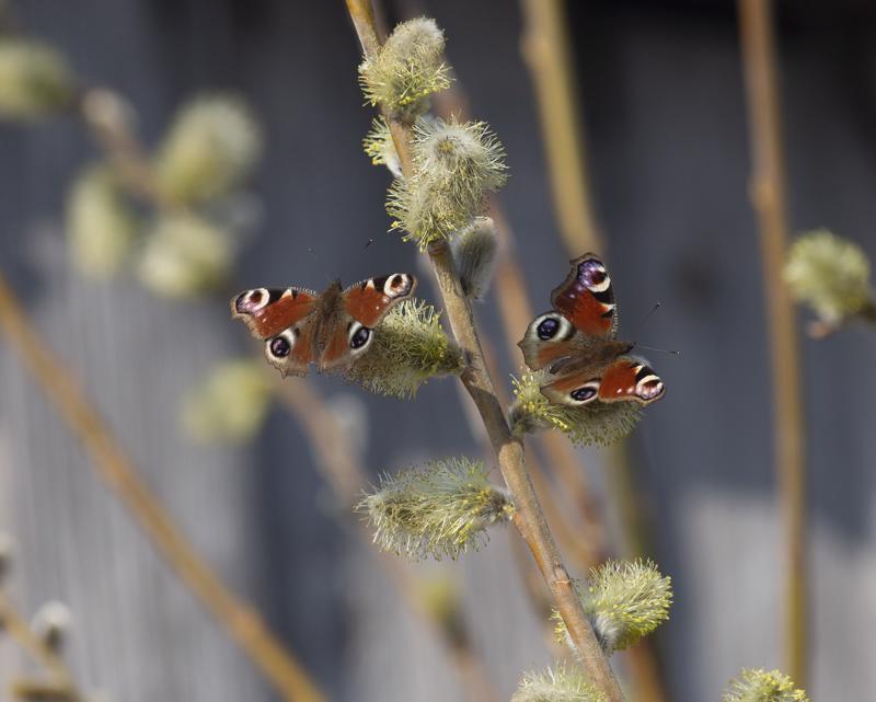 Monien lajien levinneisyysalue laajenee pohjoiseen leutojen talvien ansiosta. Esimerkiksi neitoperhoset ovat levittäytyneet nopeasti kohti pohjoista.