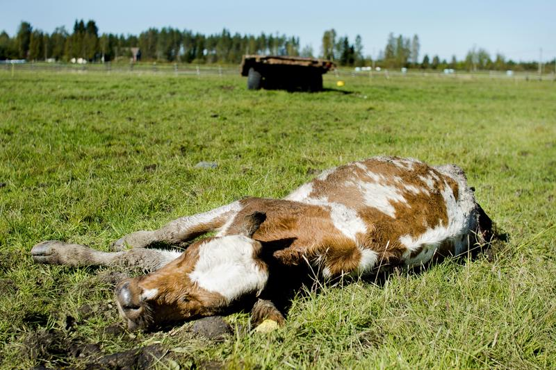 Tuotantoeläinvahingot ovat lisääntyneet, kun sudet ovat tulleet lähemmäksi ihmisasutusta. Kuvassa susien tilan yhteydessä olevalle laitumelle raatelema vasikka Haapaveden ja Nivalan rajalla syyskuussa 2015.