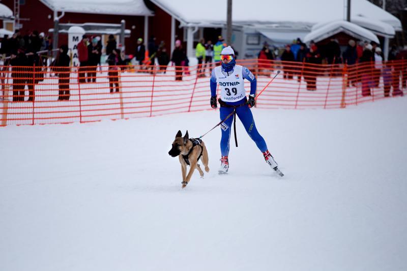 Rosi on 4-vuotias Belgian Malinois. Viime keväänä Tellervo Ranto arvioi että kevättalvella 2020 koira tulee olemaan parhaassa kilpailuiässä. Arkistokuva.