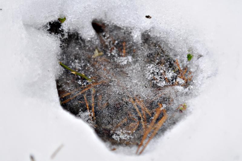 Susien lumijälkiä laskettiin viime sunnuntaina hirvitalousalueella Rannikko-Pohjanmaalla, Pohjanmaalla sekä Satakunnan pohjoisosissa.