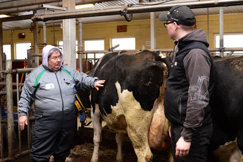 """Tarja Paatero tarkastaa aina myös lehmän pötsin täyteisyyden, joka näkyy lehmän kylkikolmiosta.  –Jos kyljen """"kolmio"""" näkyy todella selvästi, lehmä ei ole syönyt. Miksi ei, se pitää selvittää, Paatero sanoo. Paateron työskentelyä seurasi sivusta JEDUn navetan karjanhoitaja Patrik Kinnunen."""