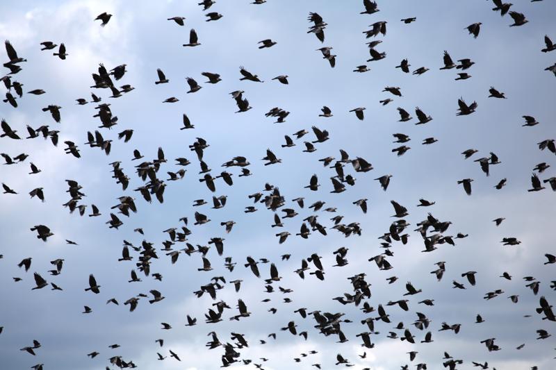 Naakkoja lentää Nivalassa niin paljon, että niiden torjuntaan vaaditaan jo järjestelmällisiä keinoja.