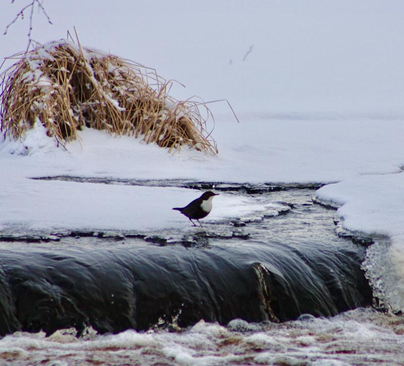 Ihastuttava lintuvieras Jylhänjärven padolla.