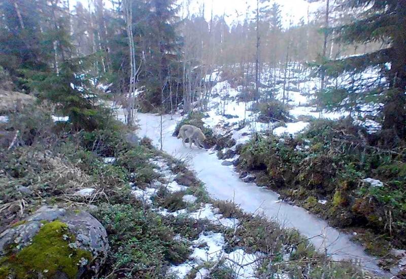 Tuore susikuva Raudaskylän Pässilästä, susi nuuhkimassa ojan pohjalla tiistaina 10. maaliskuuta kello 17:52.