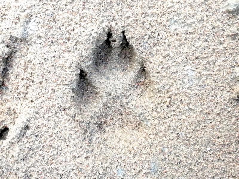 Suden tassunjälki on tallentunut Ylivieskan Anttilanperän hiekkaan.