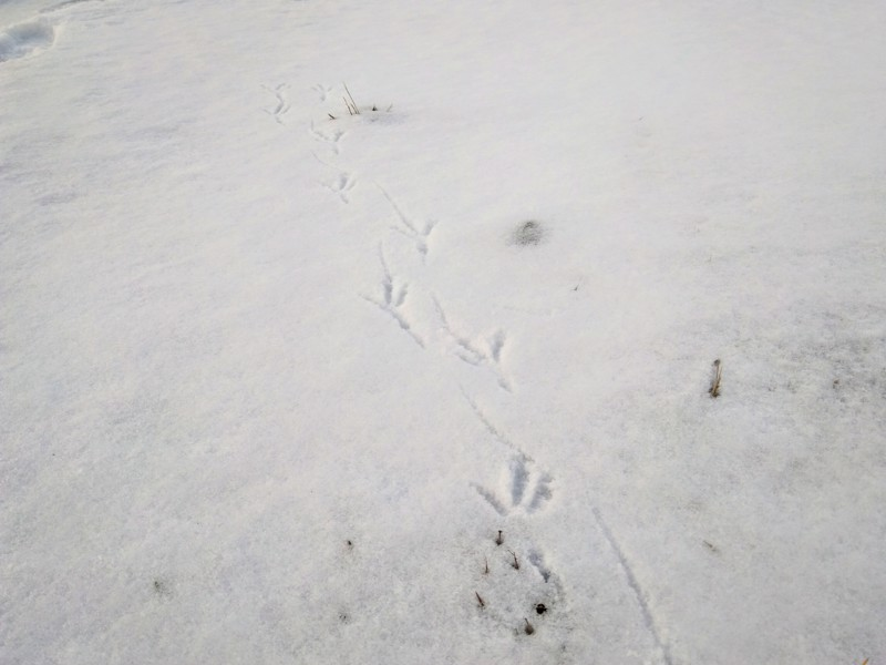 Totuus on joskus hetkeä kummallisempi. Luulin vanginneeni kevään tulon, todellisuudessa kuvassa on kissankakka ja muutama variksen varpaan jälki.