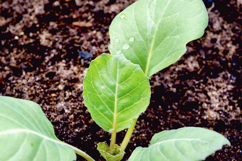 Kuvassa oleva keräkaalin taimi on kasvanut isoksi ja syöty jo aikaa sitten, mutta nyt on oiva aika laittaa uusia taimia alulle ensi kesää varten.