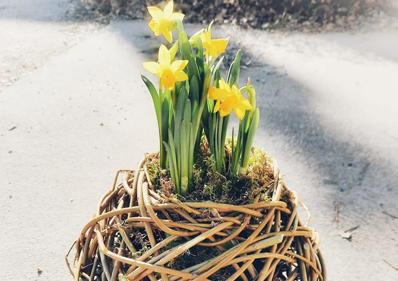 Narsissi-istutus pajuruukussa tuo iloa pääsiäisen aikaan.