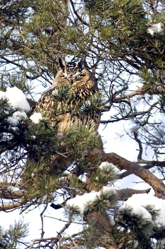 Huuhkajille talvi on ollut hyvä. Niille saalista on rittänyt, huonompi tilanne on muilla pöllölajeilla.