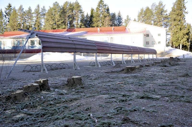 """Aita lähti. Koulukeskuksen pihan keskellä kasvaneen kuusiaidan kaatoivat kunnan luvalla """"kylänmiehet"""" polttopuiksi."""