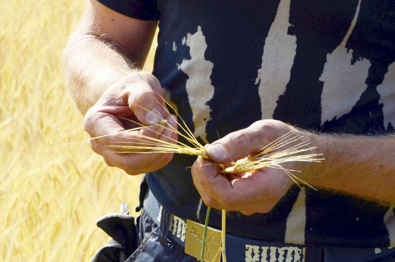 Ruokavirasto muistuttaa, että viljelijätuilla turvataan kotimaisen ruuan saatavuus. Vuonna 2019 viljelijätukea maksettiin Perhonjokilaakson alueelle 12,36 miljoonaa euroa.