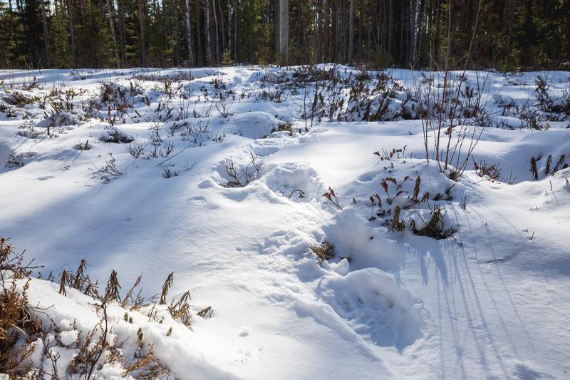 Seppo Aho kuvasi karhun jäljet Sulkakylällä sunnuntaina.