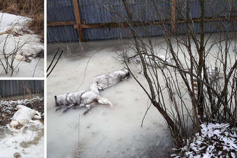 Suomalaistarhaajat kävivät Munsalan tarhalla maanantaina ja kuvasivat kuolleita kettuja tarhan ulkopuolelta.