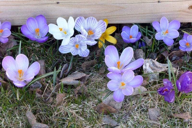 Keväisen kaunista kukkaloistoa.