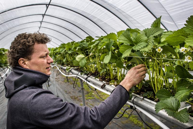 Veli-Matti Jukkola kertoo, että tilalle on aiempina vuosina tullut parikymmentä mansikanpoimijaa Ukrainasta.