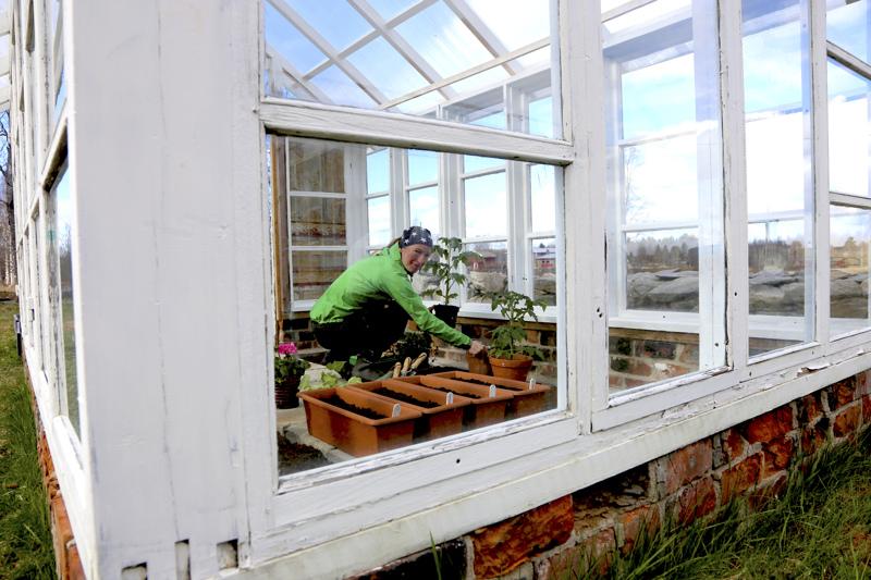 Anne Polso istuttaa tomaatin ja kurkun taimet kasvihuoneeseen toukokuun lopulla tai kesäkuun alussa. Salaatit hän kylvi ruukkuihin jo viikko sitten.