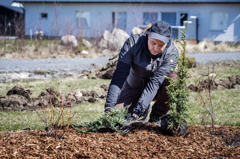 Sinilaakakataja ja pilarikataja tuovat väriä puutarhaan. Juhani Sevolan työmaa toukokuisena tiistaina oli uudella asuinalueella Kokkolassa. Tonttia rajaamaan oli valittu aronia-aidanne, jossa myös ovat hyvät syysvärit punaisine lehtineen ja mustine marjoineen.