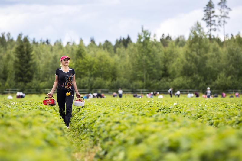 Viime kesänä ukrainalaisia kausityöntekijöitä riitti. Sairaanhoitaja Svetlana Kleochkina oli tullut Suomeen poimimaan mansikoita jo 11 kesänä.