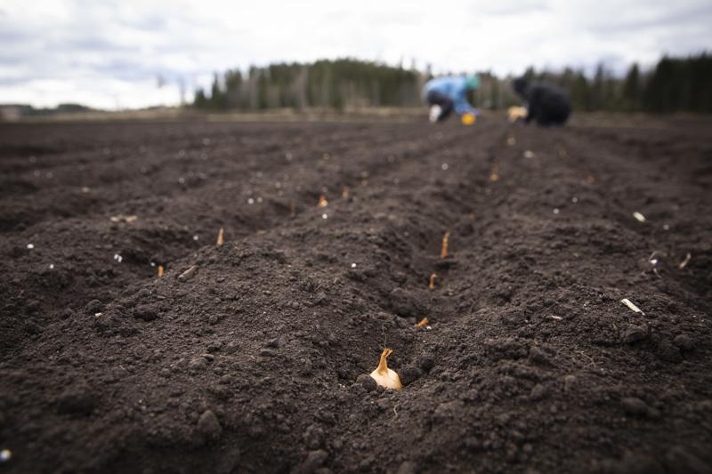 Suomalaisille vihannes- ja marjatiloille tarvittaisiin tänäkin kasvukautena noin 15000-20000 työntekijää.