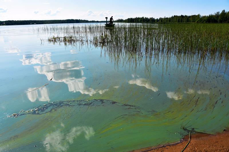 Kesän sinileväseuranta käynnistyi tällä viikolla. Tämä sinilevä on kuvattu kesällä 2019 Haapavedellä.