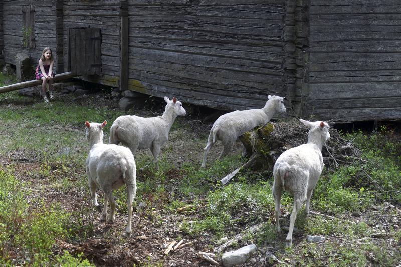 Taide Vionojan kesälampaat asustavat osittain myös naapuritontilla, jossa on Ullavan kotiseutuyhdistyksen riihi.