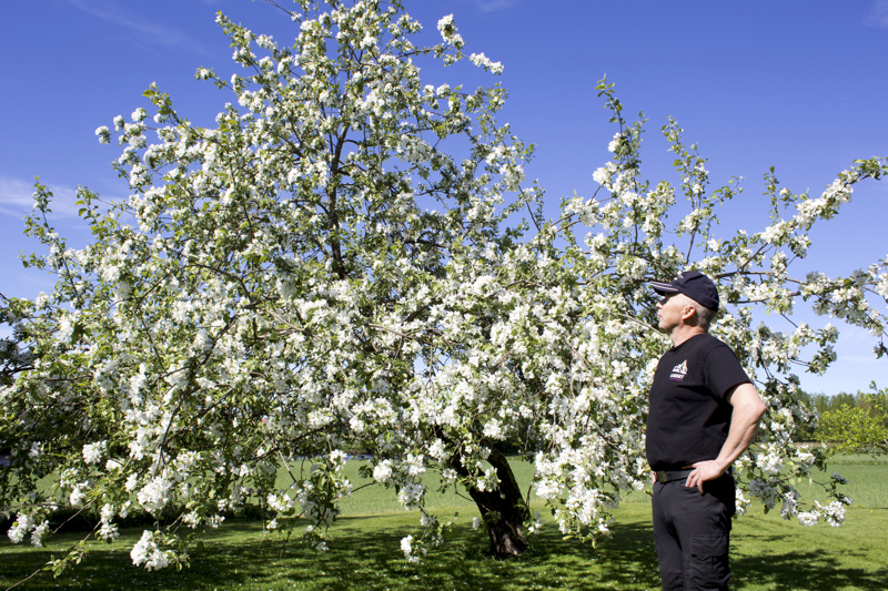 Tapio Kontion takapihalla kasvava omenapuu on lähes 100 vuotta vanha.