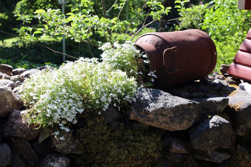 Hanssonin puutarhassa riittää yksityiskohtia. Tästä maitotonkasta virtaa muurikelloja. Hanssonin suosikkikasveja ovat syreenit, alppiruusut, pionit ja kielot.