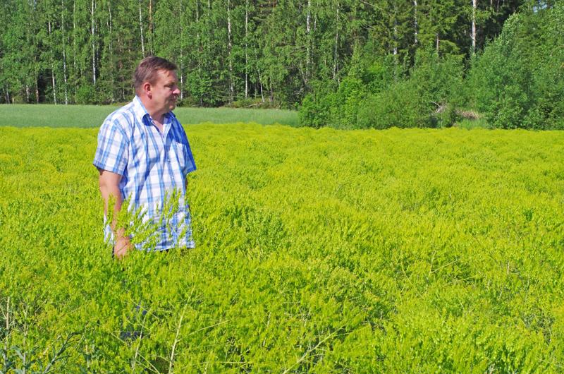 Pasi Ainasoja viljelee morsinkoa noin 40 hehtaarilla.