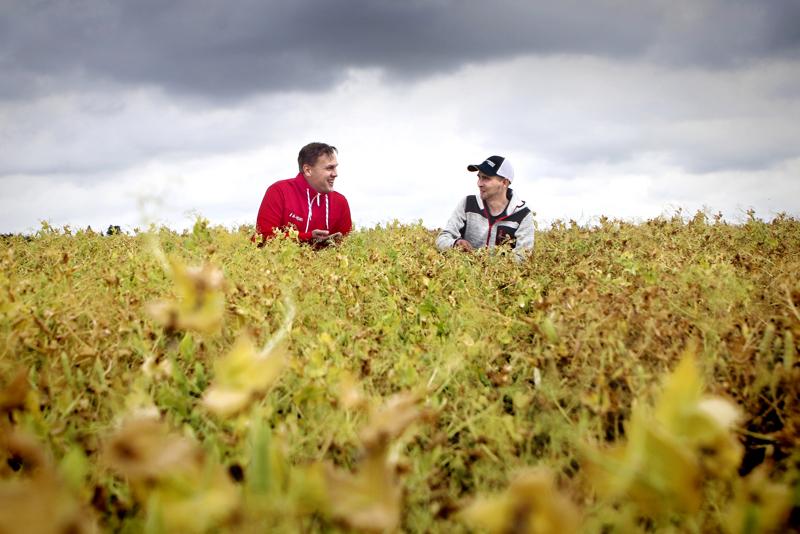 Hankintapäällikkö Taneli Marttila ja maanviljelijä Juho Kiviniemi tutkivat herneen kasvua viime kesänä. Tämän vuoden sadon määrä ja laatu selviävät vasta syksyllä.