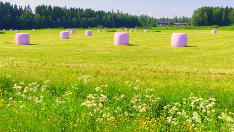 Vaaleanpunaisia traktorinmunia Lohtajalla.