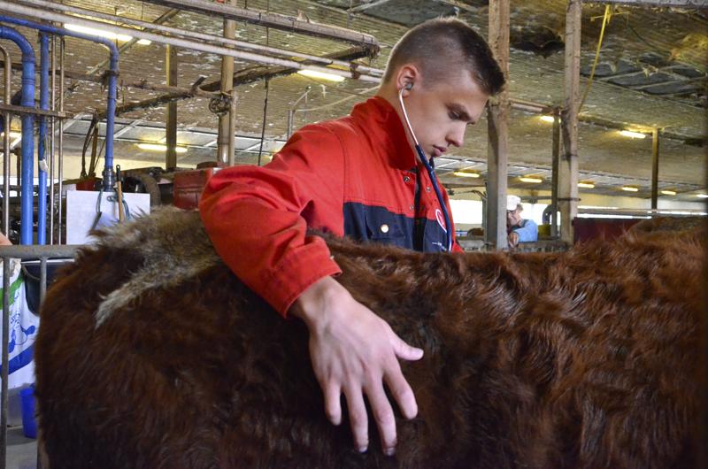 Liikanen tutkii poikinutta lehmää.