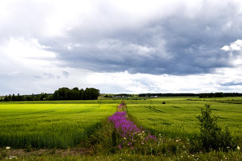 Viljojen kannalta heinäkuun sateet tulevat monin paikoin liian myöhään.