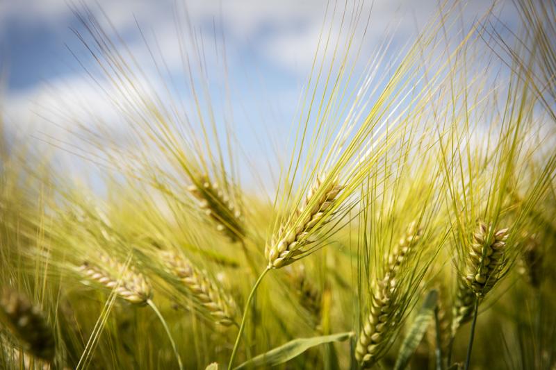 Maatalous ja pellonkäyttö vastaavat noin 24 prosenttia Suomen kasvihuonekaasupäästöistä. Arkistokuva.