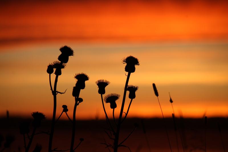 Ohdakkeet ilta-auringossa Ullavanjärvellä.