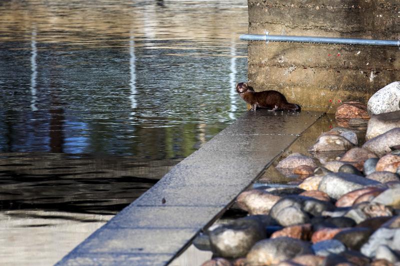 Minkki on tehokas saalistaja, joka syö niin kaloja kuin pikkunisäkkäitä. Tässä kuvassa minkki on Kokkolassa Suntin rannassa.